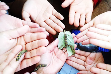 Several hands holding caterpillars
